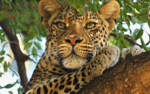 300px-Леопард